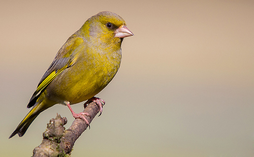 greenfinch_10