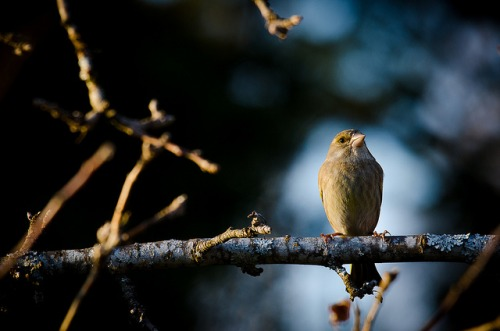 greenfinch_12