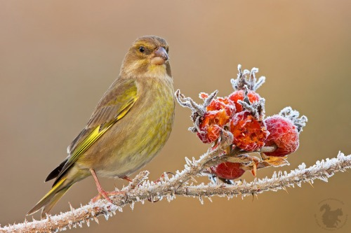greenfinch_3