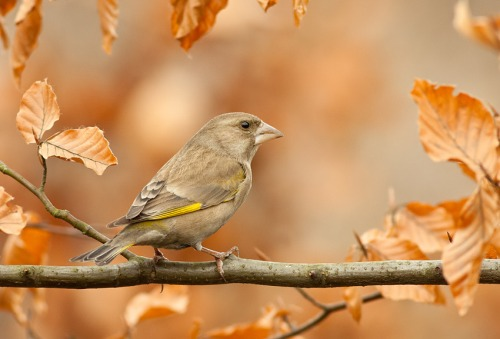 greenfinch_4