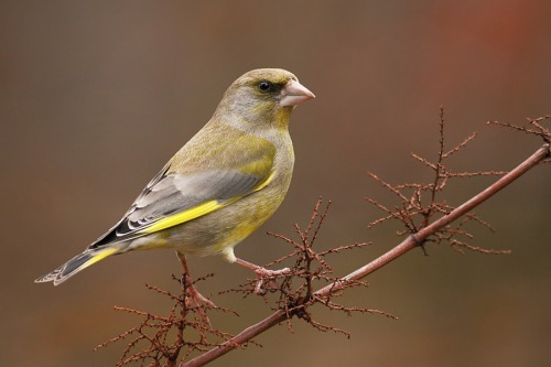 greenfinch_5