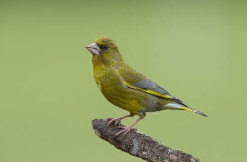 greenfinch_7