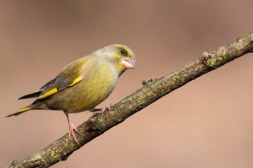 greenfinch_8