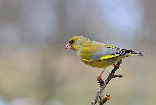 greenfinch_9