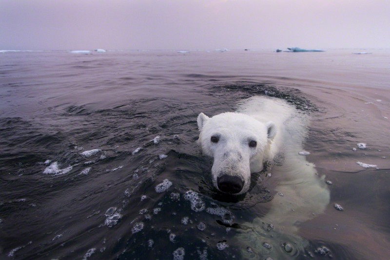 12 Jul 2012, Churchill, Manitoba, Canada --- Canada, Manitoba, Churchill, Polar Bear (Ursus maritimus) swimming in Hudson Bay on summer evening --- Image by © Paul Souders/Corbis